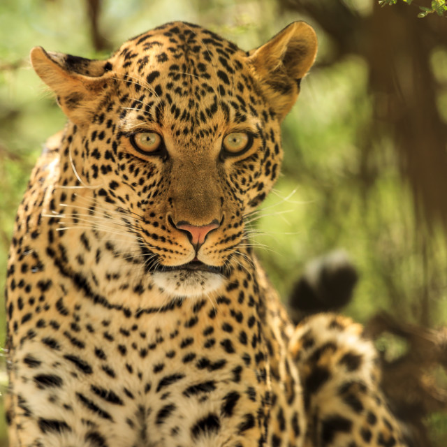 """""""An African Leopard giving the death stare"""" stock image"""