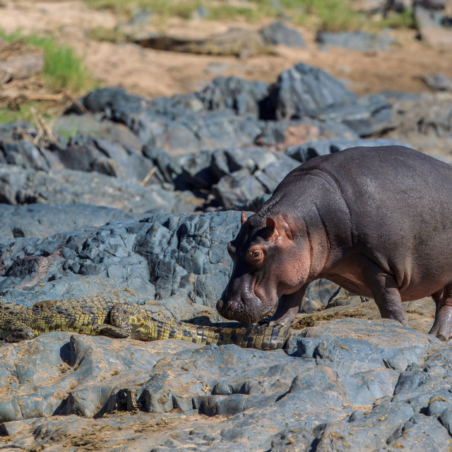 """""""A Hippo nudging a Nile crocodile out of the way"""" stock image"""