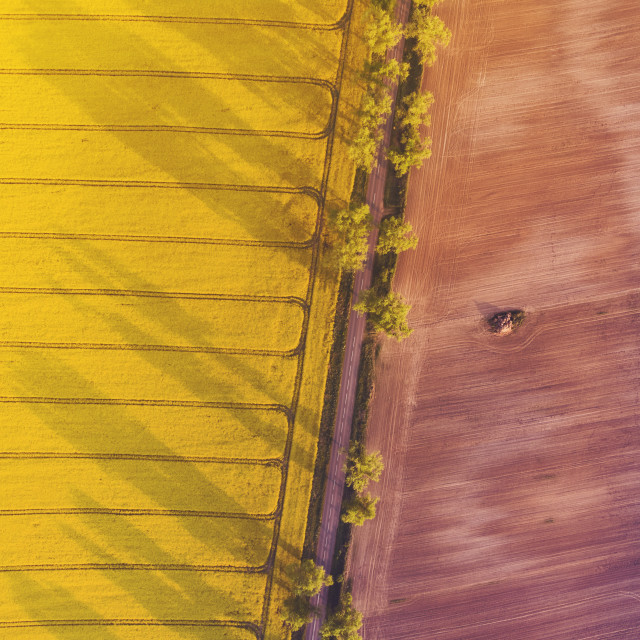 """Aerial view of yellow canola field and country road at sunrise"" stock image"