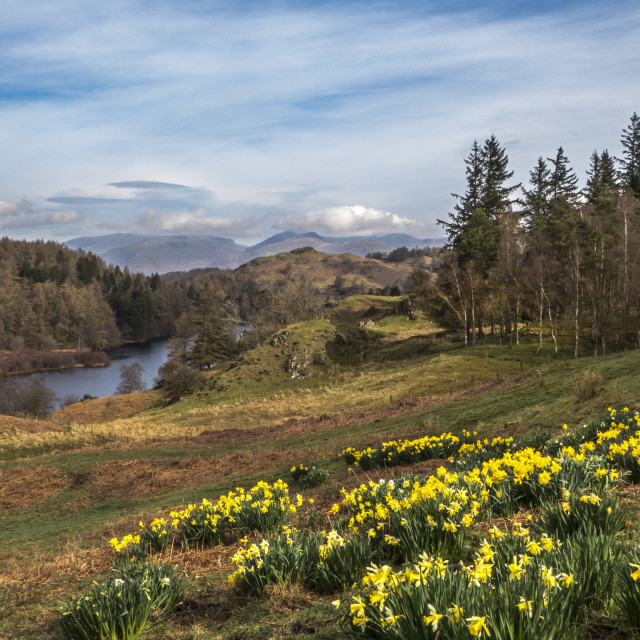 """Daffodils At Tarn Hows"" stock image"