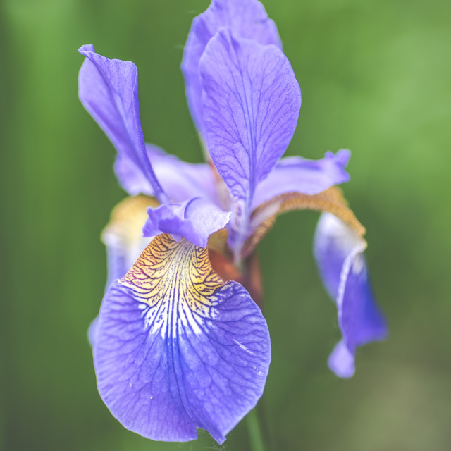 """Mauve iris"" stock image"