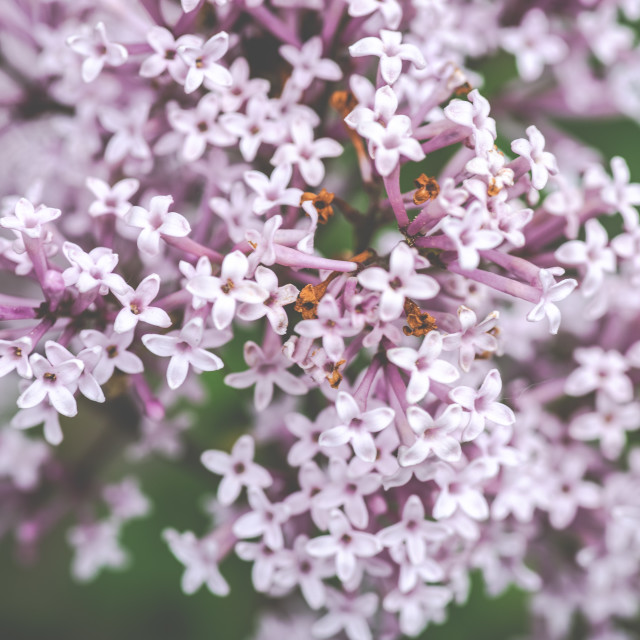 """Lilac"" stock image"