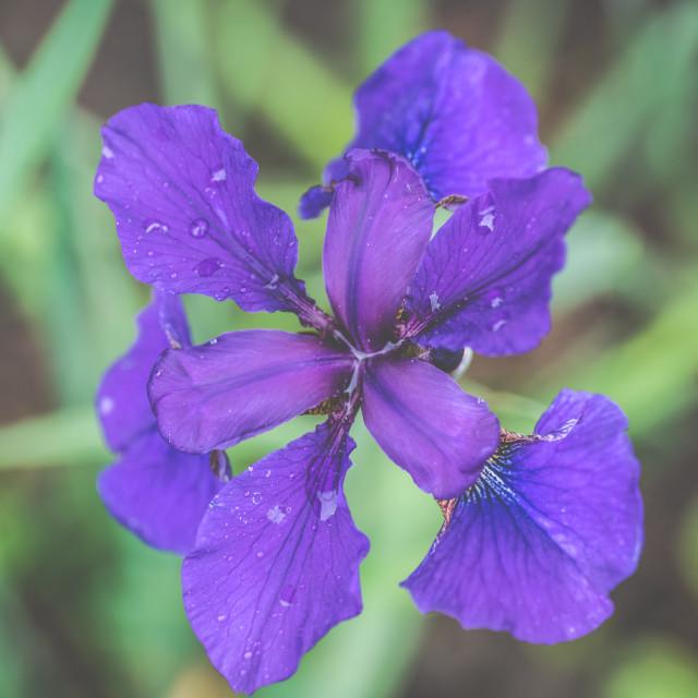 """Purple Iris in full bloom"" stock image"