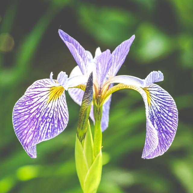 """Portrait of an iris"" stock image"
