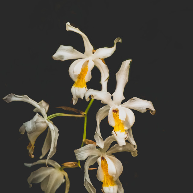 """""""White orchid bloom"""" stock image"""