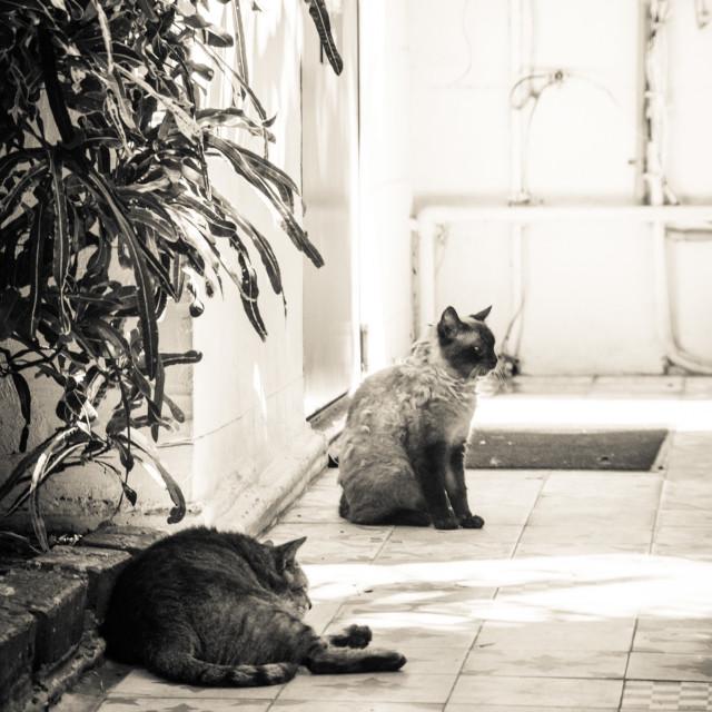 """Two Hemingway cats"" stock image"