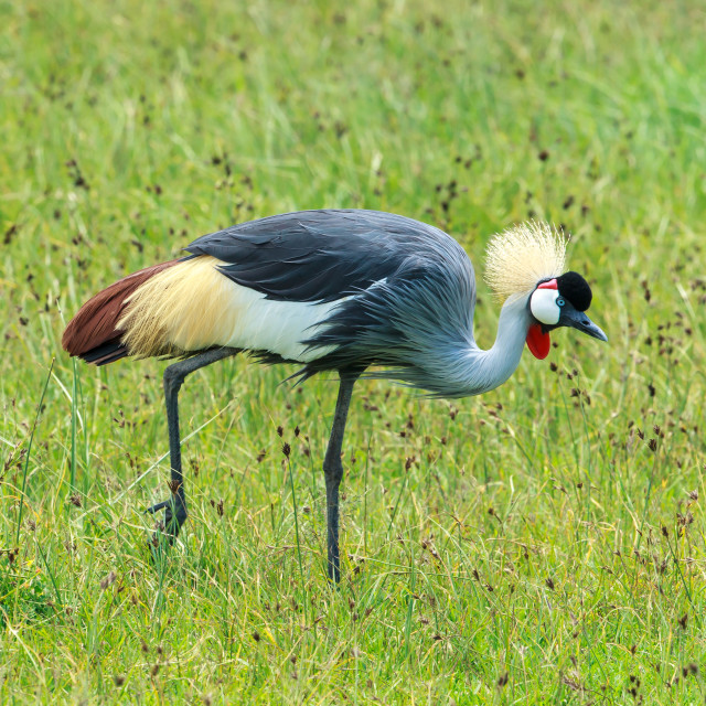 """""""A Grey-crowned crane foraging in Ngorongoro crater"""" stock image"""