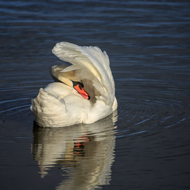 """A Mute swan preening its feathers"" stock image"