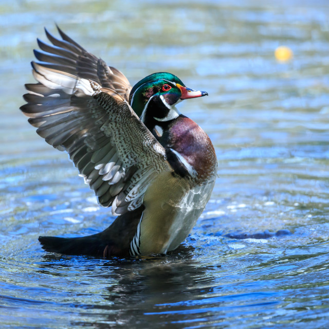 """A Wood duck drying its wings"" stock image"