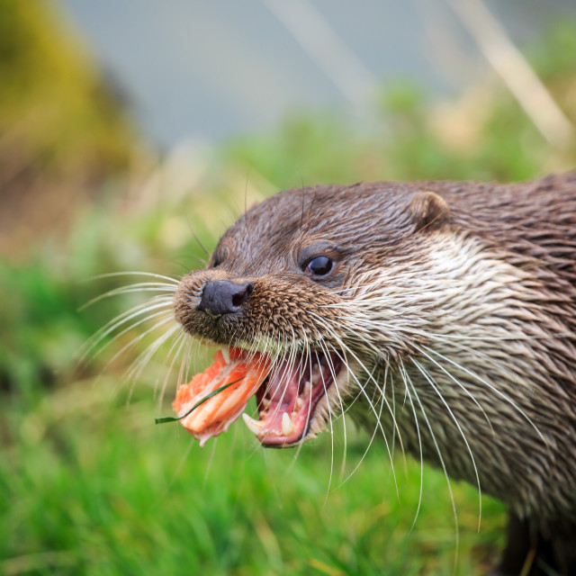"""A Common otter eating up close"" stock image"