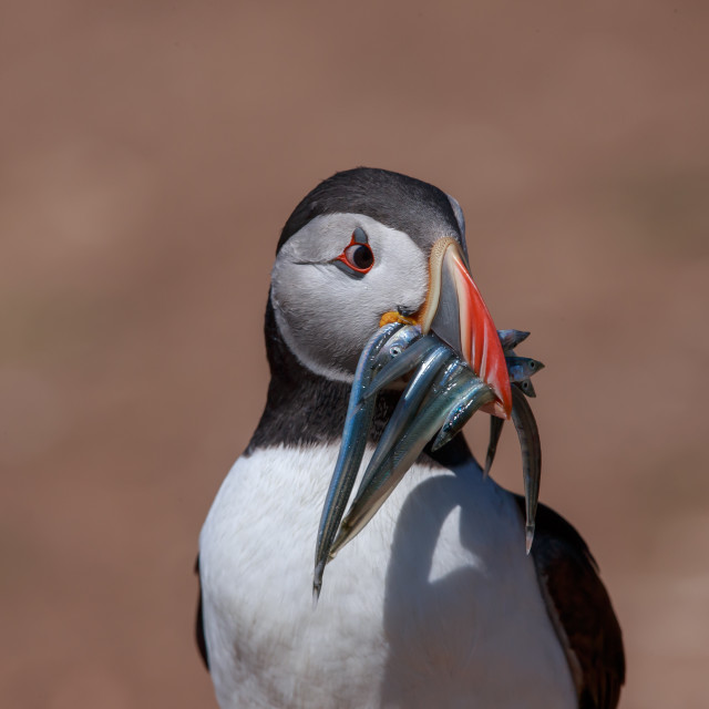 """""""An Atlantic Puffin with a bill full of sand eels"""" stock image"""