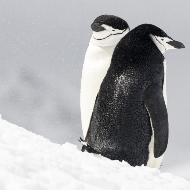"""""""0994 - Antarctica, a chinstrap penguin couple"""" stock image"""