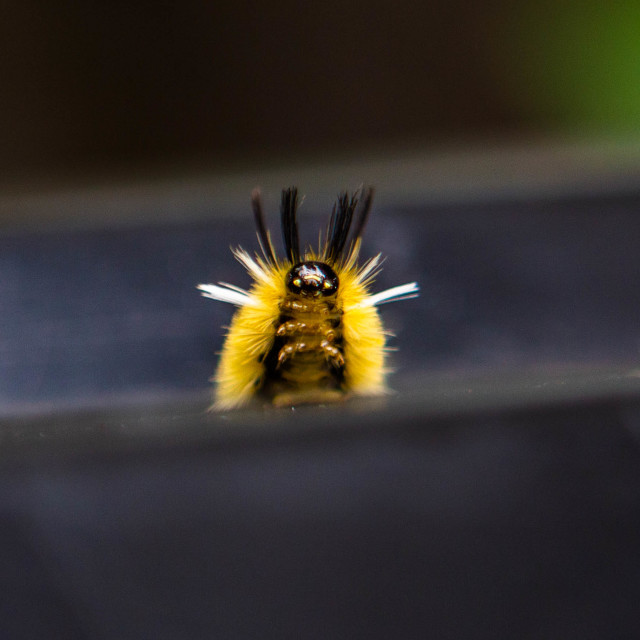 """""""Caterpillar of a Banded Tussock Moth aka Pale Tiger Moth"""" stock image"""