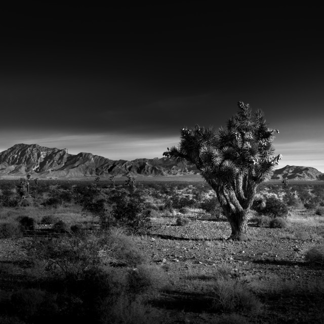 """Black and White Photo of Joshua Tree"" stock image"