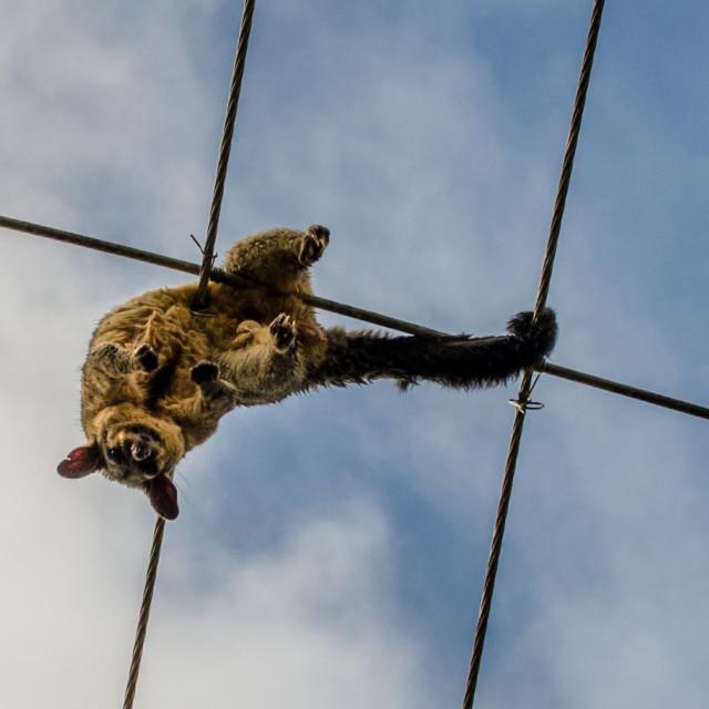 """Electric Possum"" stock image"