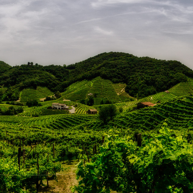 """Panorama of the vineyards of Prosecco vineyards"" stock image"