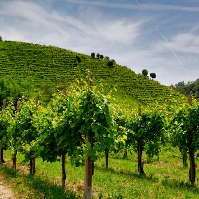 """Path to vineyards under hills in the Valdobbiadene area"" stock image"