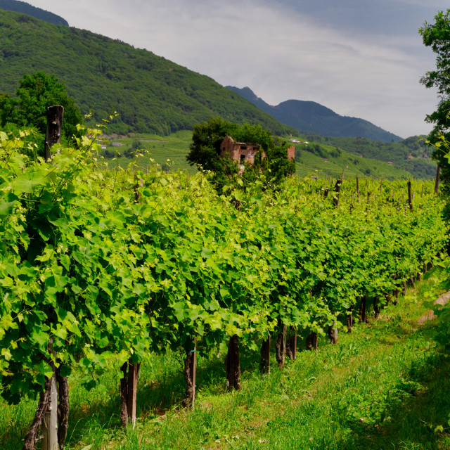 """Vineyards on the slopes of the hills in Valdobbiadene."" stock image"