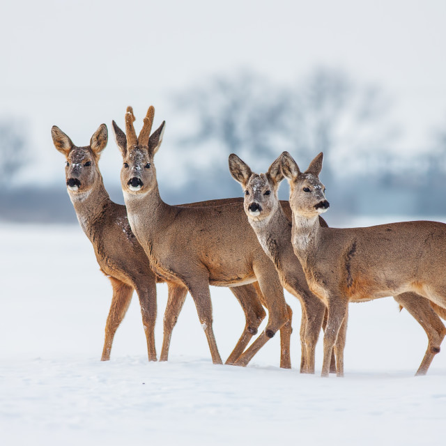 """Roe deer herd in winter standing close together in deep snow."" stock image"