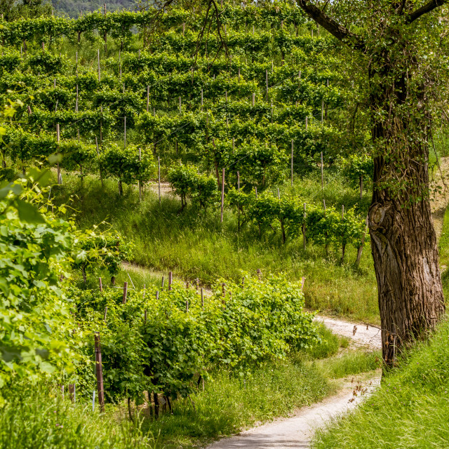 """Path between vineyards"" stock image"