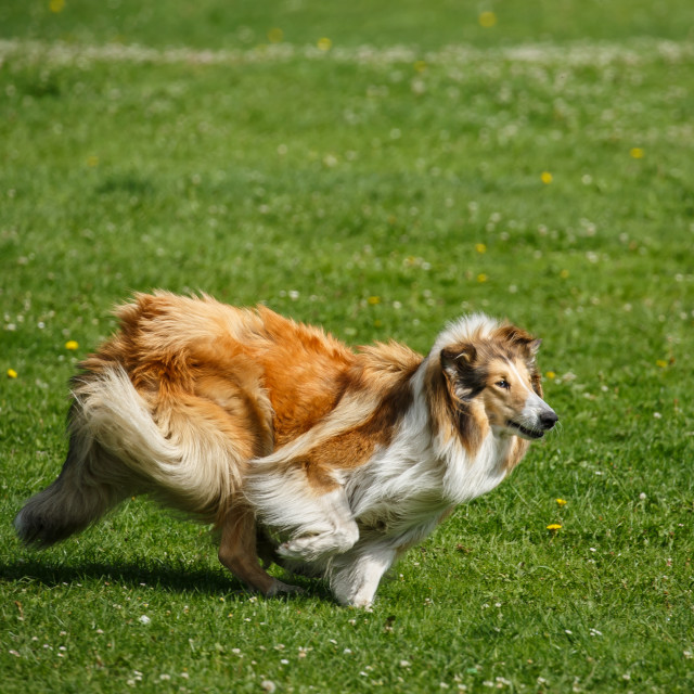 """A Rough Collie playing fetch"" stock image"