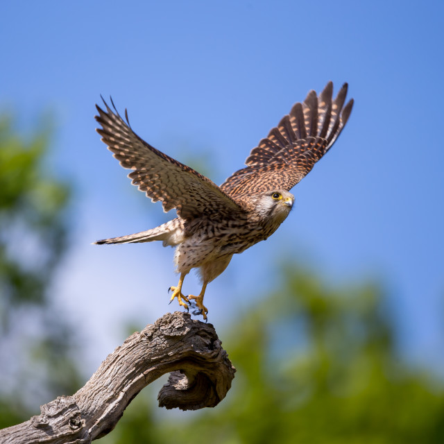 """A Common kestrel taking off"" stock image"