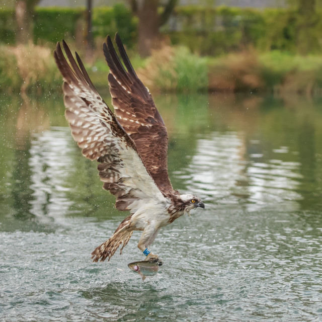 """An Osprey emerging with a catch"" stock image"