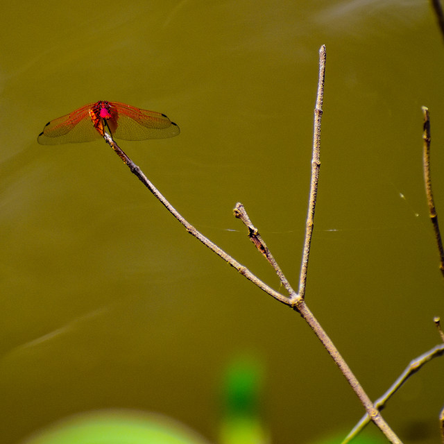 """""""Red Dragonfly"""" stock image"""