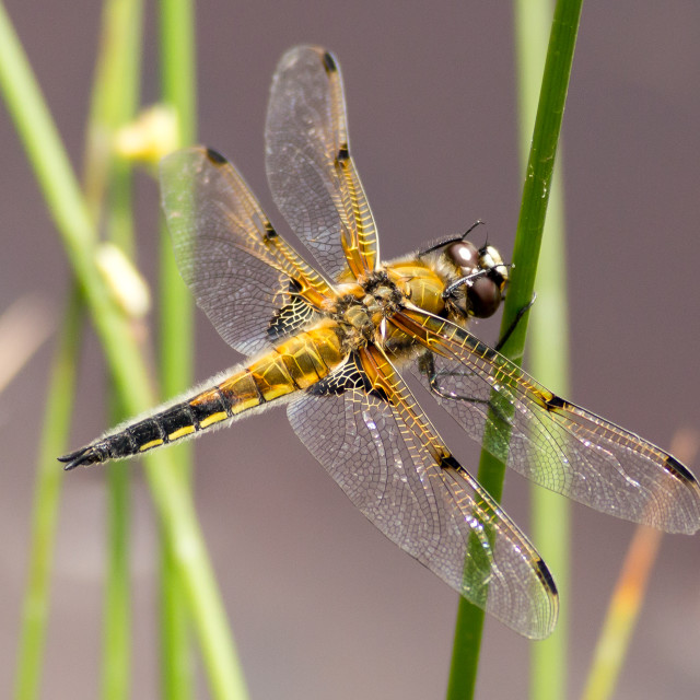 """""""Four-spotted Chaser Dragonfly"""" stock image"""