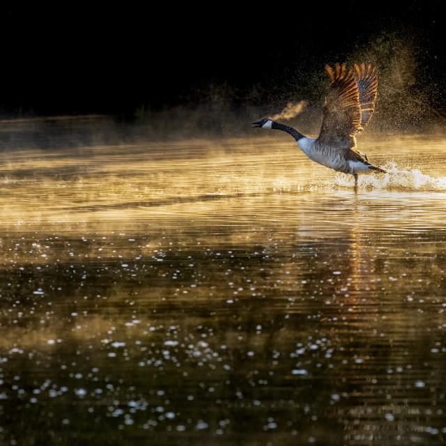 """Canada Goose takes Flight"" stock image"