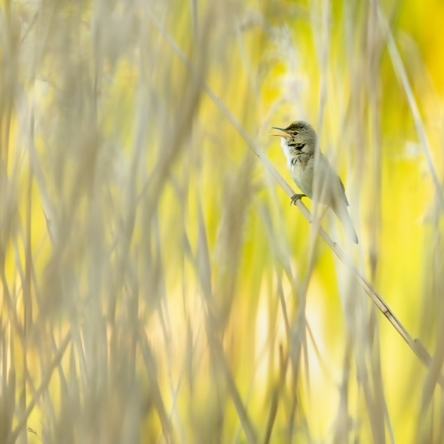"""Singing Reed Warbler"" stock image"