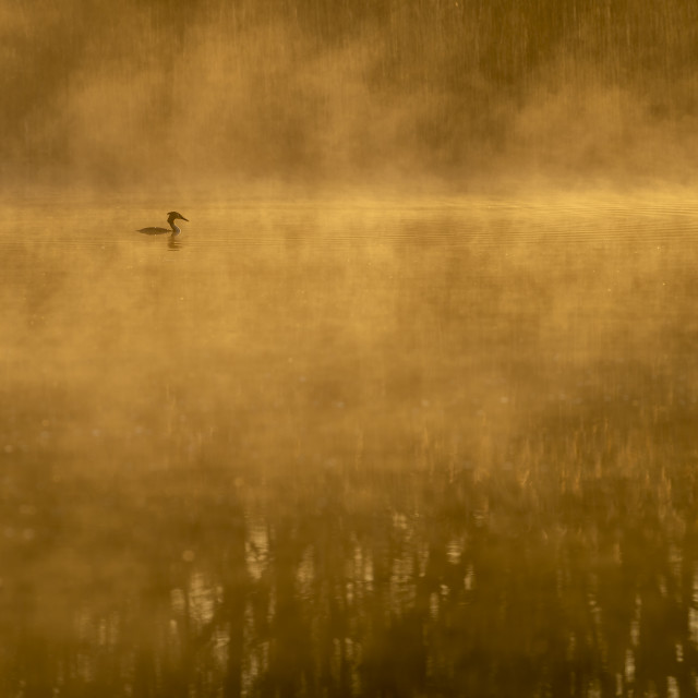 """Great Crested Grebe on a lake in the mist"" stock image"