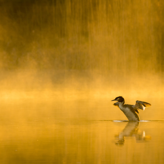 """Great Crested Grebe on a golden misty lake, stretching wings"" stock image"