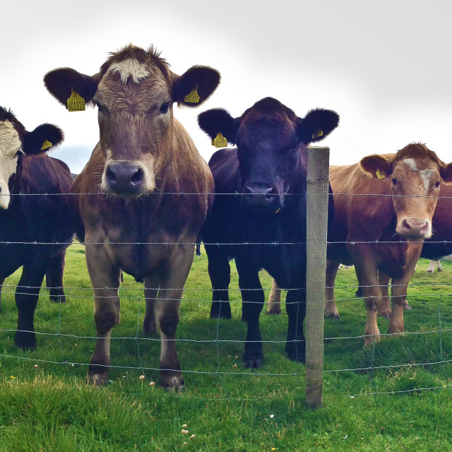 """""""Young cattle looking on inquisitively over the fence"""" stock image"""