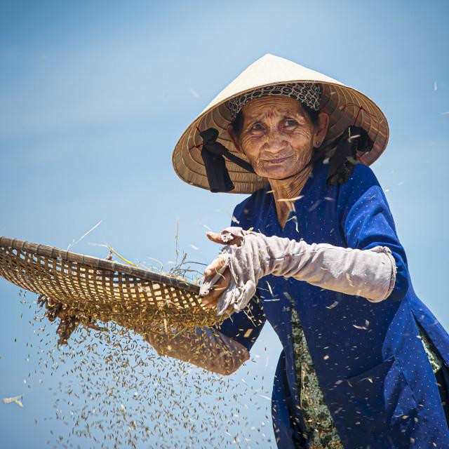 """Sifting Rice Grain #1"" stock image"