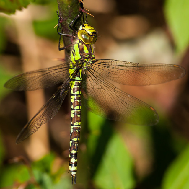"""""""Southern Hawker Dragonfly"""" stock image"""