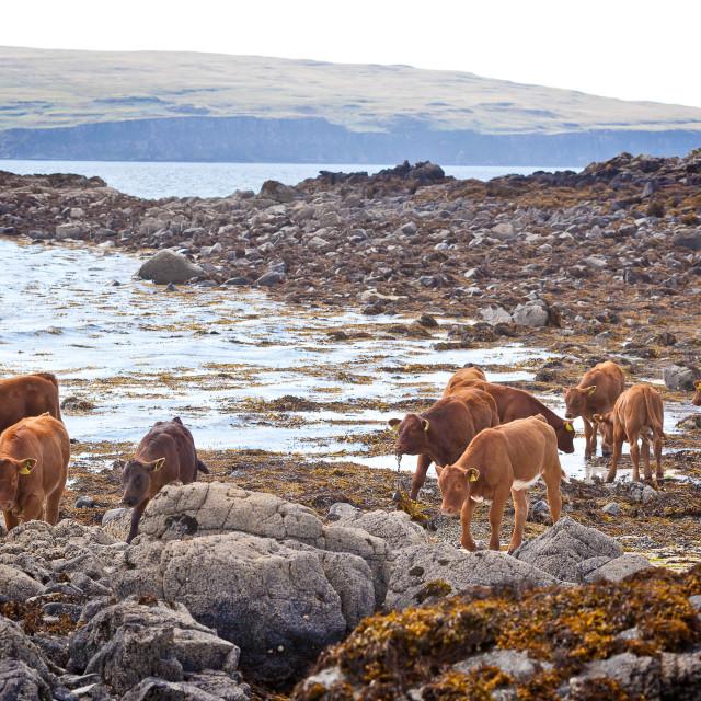 """Cattle on the beach near Claigan, Isle of Skye"" stock image"
