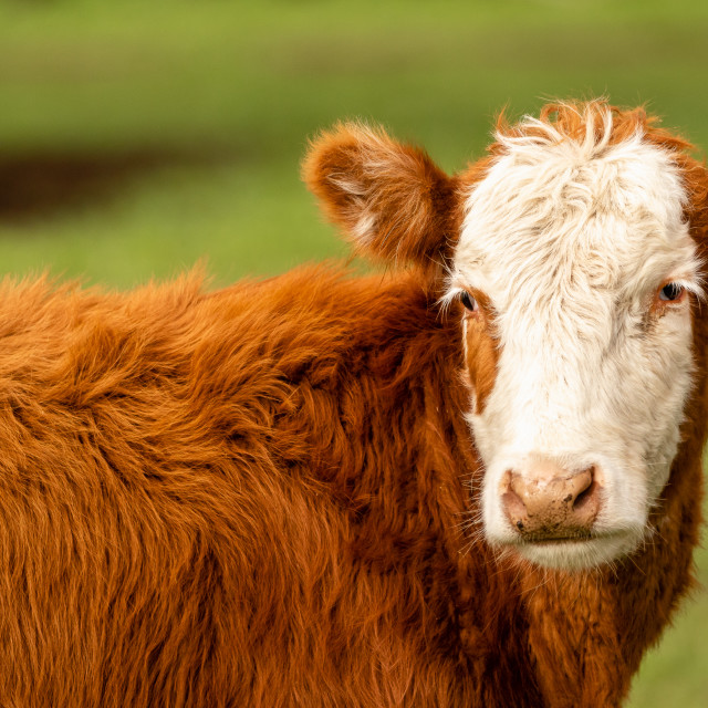 """""""Hereford Cow in green pasture facing side on with head angled toward camera. Image taken in the North East of Victoria, Australia."""" stock image"""