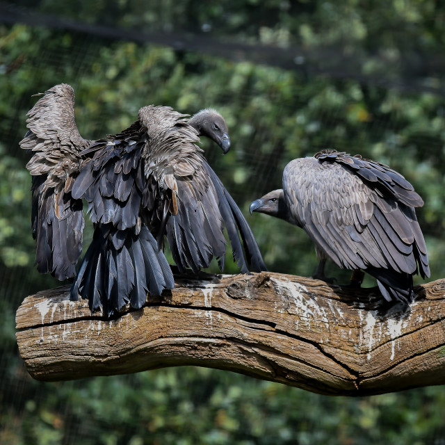 """two black vultures"" stock image"