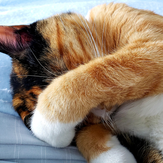 """""""A calico cat covers her face"""" stock image"""