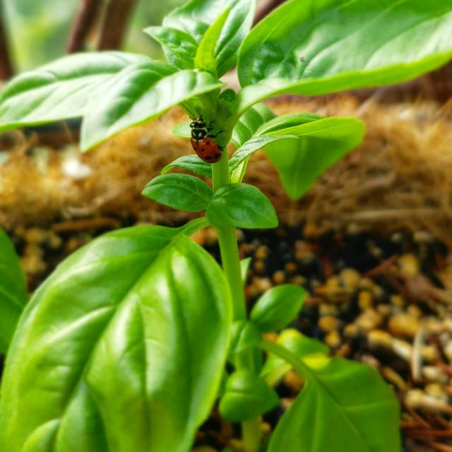 """A ladybug on a basil plant"" stock image"