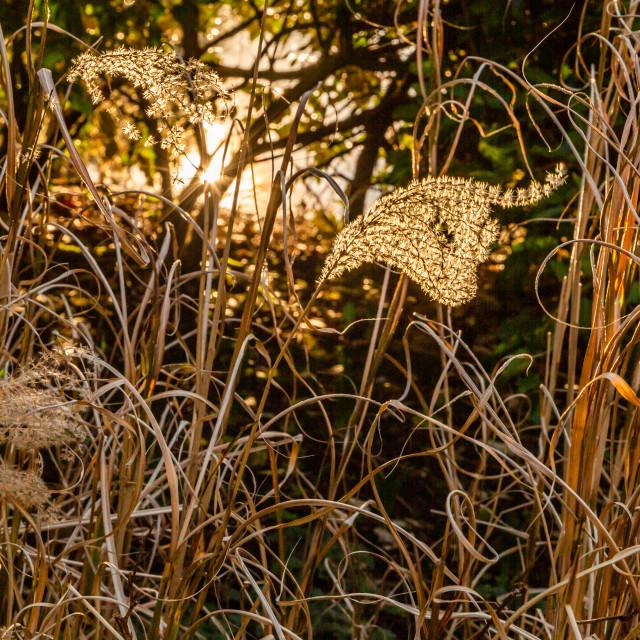 """""""Backlit Grasses"""" stock image"""
