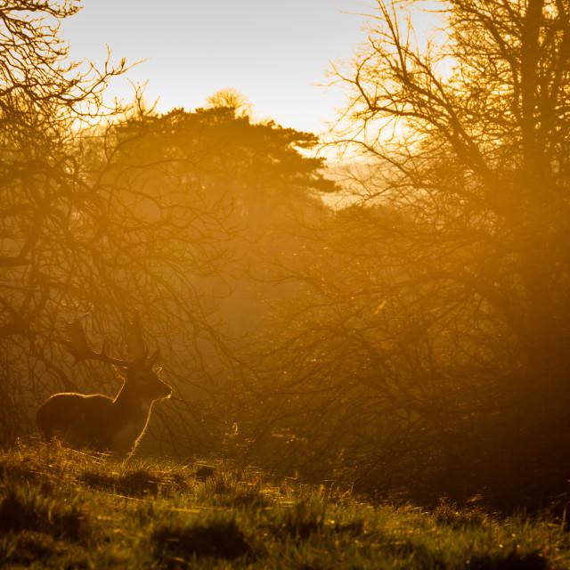 """""""Sunlit Deer"""" stock image"""