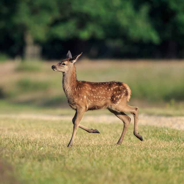 """""""Bambi - A Red deer fawn"""" stock image"""
