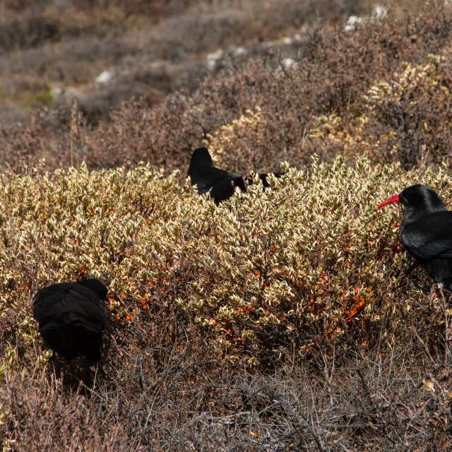 """""""Red-billed chough"""" stock image"""
