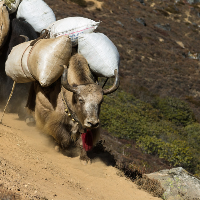 """""""Yaks packed with supplies on a trail in Khumbu"""" stock image"""