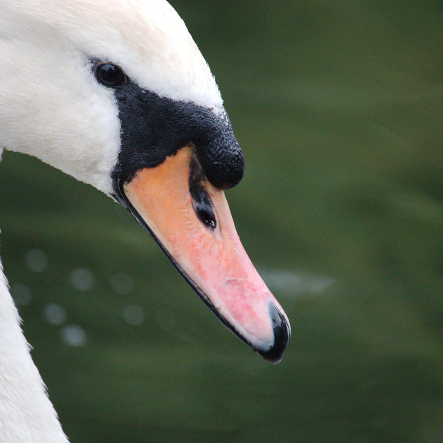 """Close Up of a Mute Swan's Head"" stock image"