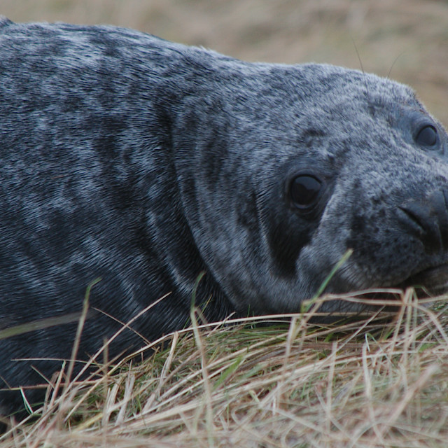 """Grey Seal (Halichoerus grypus) Christopher Stubbs"" stock image"