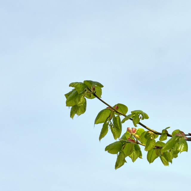 """Newly opened Small-leaved Lime tree leaves against a blue sky. May 2018"" stock image"