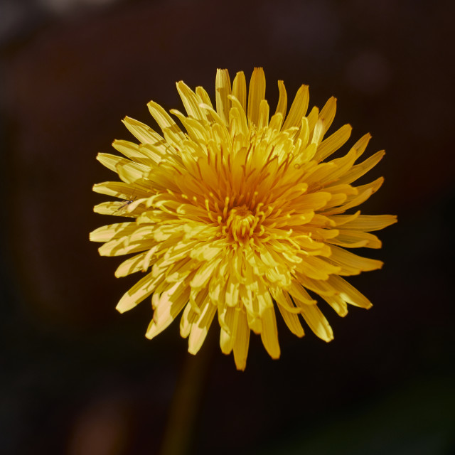 """Dandelion flower in sunlight and shade"" stock image"